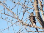 Hawk - Männlich Wanderfalke (8 Jahre)