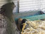 Ma poule et ses poussins - Huhn (10 Monate)