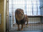 ? - Männlich Löwe (5 Jahre)