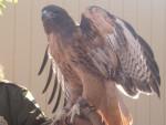 Hawk Wings - Männlich